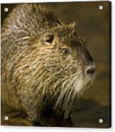 A Beaver From The Omaha Zoo Acrylic Print by Joel Sartore