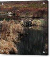 A Beaver's Work Acrylic Print