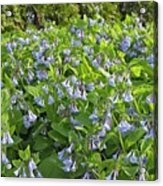 A Bed Of Bluebells Acrylic Print