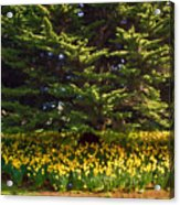 A Bed Of Narcissus Acrylic Print