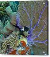 A Bi-color Damselfish Amongst The Coral Acrylic Print