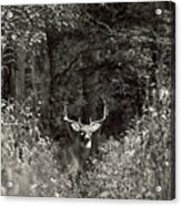 A Big Buck In Rut Acrylic Print