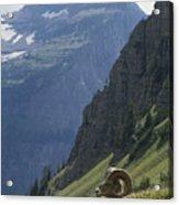 A Bighorn Sheep Ram, Ovis Canadensis Acrylic Print