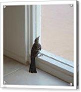 A Bird At A Plate Glass Window Acrylic Print