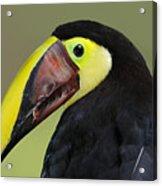 A Bird For His Bill.. Acrylic Print