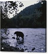 A Black Bear Searches For Sockeye Acrylic Print