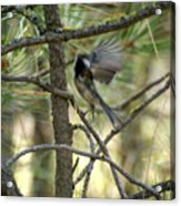 A Black Capped Chickadee Taking Off Acrylic Print
