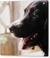 A Black Dog Acrylic Print
