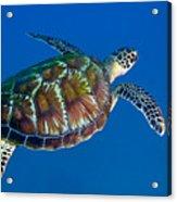 A Black Sea Turtle Off The Coast Acrylic Print by Michael Wood