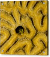 A Blenny In Brain Coral Acrylic Print