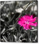 A Bloom Of Color Acrylic Print