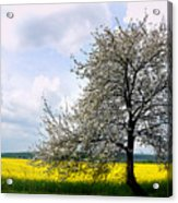 A Blooming Tree In A Rapeseed Field Acrylic Print