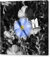 A Blue Flax Special Acrylic Print