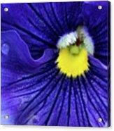 A Blue Pansy Acrylic Print