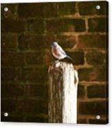A Bluebird At The Governor's Palace Gardens Acrylic Print