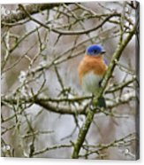 A Bluebird  Acrylic Print
