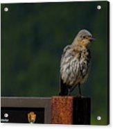 A Bluebird Welcome Acrylic Print