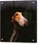 A Borzoi In The Field Acrylic Print
