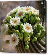 A Bouquet Of Saguaro Blossoms Acrylic Print