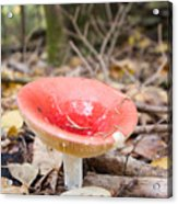 A Bright Red Mushroom Blooms Acrylic Print