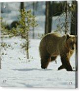 A Brown Bear Ursus Arctos Walks Acrylic Print