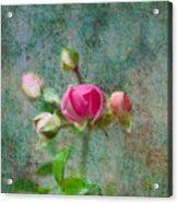 A Bud - A Rose Acrylic Print