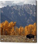 A Buffalo Grazing In Grand Teton Acrylic Print