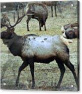 A Bull Elk  Acrylic Print