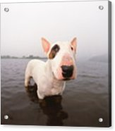 A Bull Terrier In Water Acrylic Print