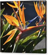 A Bunch Of Bird Of Paradise Flowers Bloomed  Acrylic Print