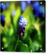 A Bunch Of Flowering Two-tone Grape Hyacinths, No.2. Acrylic Print