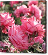 A Bunch Of Pink Acrylic Print