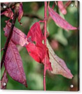 A Bunch Of Red Leaves Acrylic Print