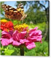 A Butterfly On The Pink Zinnia Acrylic Print