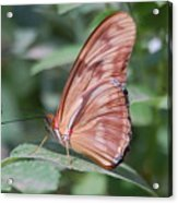 A Butterfly With Closed Wings Acrylic Print