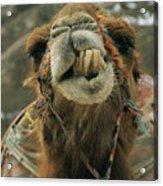 A Camel Displays Its Teeth Acrylic Print