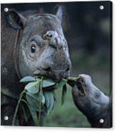 A Captive Sumatran Rhinoceros Acrylic Print by Joel Sartore
