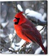 A Cardinal Day... Acrylic Print