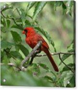 A Cardinal Day Acrylic Print