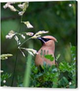 A Cedar Waxwing Facing Left Acrylic Print