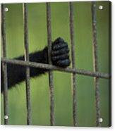 A Celebes Macaque Macaca Nigra Holds Acrylic Print
