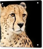 A Cheetah Named Jason Acrylic Print