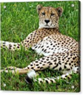 A Cheetah Resting On The Grass Acrylic Print