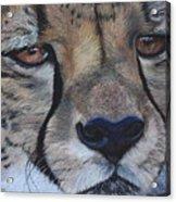 A Cheetah Acrylic Print