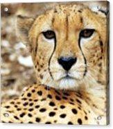 A Cheetah's Portrait Acrylic Print