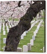 A Cherry Tree In Arlington National Cemetery Acrylic Print
