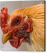 A Chicken In Burwell, Nebraska Acrylic Print