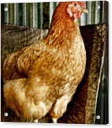 A Chicken Named Rembrandt Acrylic Print
