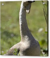 A Chinese Goose Anser Cygnoides At Zoo Acrylic Print