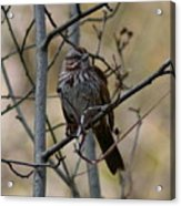 A Chipping Sparrow Acrylic Print